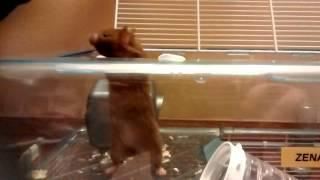 Zena the talking hamster's great escape.