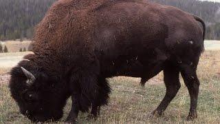Restore the bison to the wild Part 2