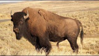 Restore the bison to the wild Part 1
