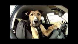Dog Sitting In Drivers Seat Being Picked On (FUNNY)