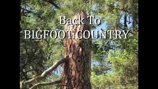 Back to Bigfoot Country/Tiger Canyon: BIGFOOT IN TREE REACHING OUT