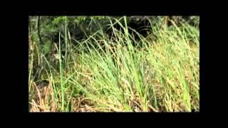 Bigfoot or Swamp Ape?  Something strange filmed in the swamp!