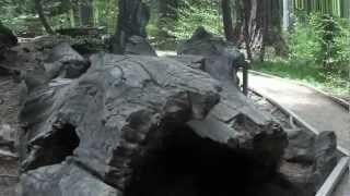 "Calaveras Big Trees Part 4 - ""Natures Tunnels"""